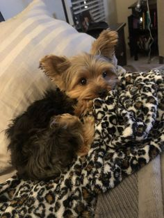 Cute Puppies, Cute Dogs, Dogs And Puppies, Yorkie Puppy, Chihuahua, Animals And Pets, Cute Animals, Yorshire Terrier, Yorky