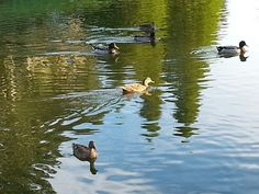 Ducks in the Pond.