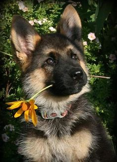 Cute Dogs And Puppies, Baby Dogs, Pet Dogs, Dog Cat, Pets, Gsd Dog, Gsd Puppies, Beautiful Dogs, Animals Beautiful