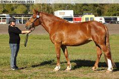 Finnhorse - mare Telma