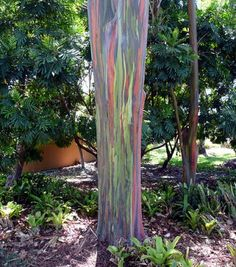 La coloration de l'eucalyptus arc-en-ciel, Philippines