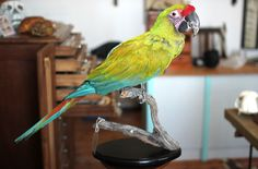 Taxidermy Macaw. Mandibles, Cape Town