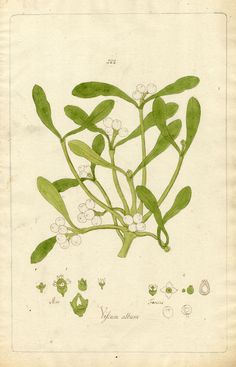 Mistletoe Viscum album    Mistletoe (Viscum album) is one of the only plants that we know was sacred to the Druids. It represented both peace and divine masculinity (and therefor fertility). Hang boughs of it, or stuff it into snail shells for prosperity, love, fertility, and peace.