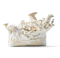CNC Exotic Mushrooms :: King oyster mushroom / Eryngii Permaculture, Oysters, Cnc, Don't Forget, Exotic, Candle Holders, Stuffed Mushrooms, Stuff Mushrooms, Porta Velas