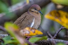 https://flic.kr/p/Drqjac | White-winged Dove, Wakodahatchee Wetlands | When I look at these beautiful birds, I have to wonder how anyone could hunt and shoot them for sport.