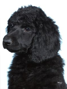 standard poodle puppy.. Chloeeeeee ...........click here to find out more http://googydog.com