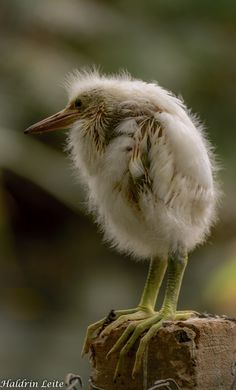 Egret Chick by Haldrin Leite. Check out the feet. The proverbial ugly duckling