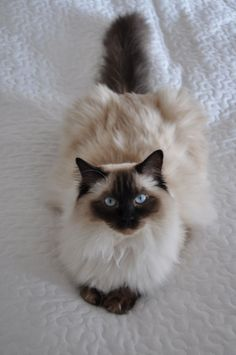 ragdoll cat Wonderful Photo siamese Ragdoll Cats Style The important, floppy Ragdoll is actually a adorable addition to almost any family pet significant others hom. Pretty Cats, Beautiful Cats, Animals Beautiful, Cute Kittens, Image Chat, Himalayan Cat, Pet Dogs, Pets, Baby Cats