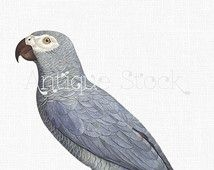 Parrot Illustration - African Grey Parrot Digital Download Image for Wall Art, Prints, Decoupage, Collages, Invites, DIY Cards...