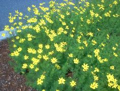 Love the color and cover of coreopsis