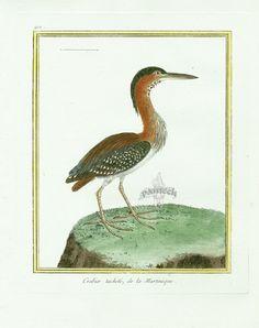 Martinet c1770's: Crabier tachete de la Martinique. Green Heron