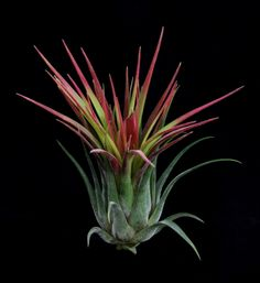 A newly available species.<br> <br> Rather like a giant green T. kolbii on steroids.<br> <br> Beautiful dark green plants that take on a nice red blush.<br> <br> Single well developed offsets of this attractive species.