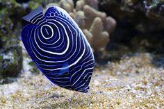 Pomacanthus navarchus blue girdled angel sea fish by Radu Borzea - Pomacanthus navarchus blue girdled angel sea fish Click on the image to enlarge.