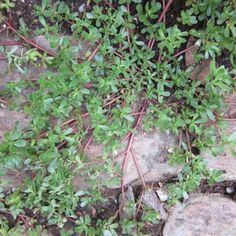 Purslane, a succulent ground cover that many toss out as a weed, is actually an extremely nutritious vegetable. To learn how to harvest and freeze purslane, read on.