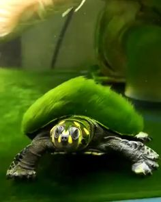Newest Free of Charge turtles pet videos Popular Young children have a healthy involvement with the entire world all around these, hence it's no surprise pr Aquatic Turtle Tank, Turtle Aquarium, Aquatic Turtles, Les Reptiles, Reptiles And Amphibians, Mammals, Pet Turtle, Turtle Love, Cute Turtles