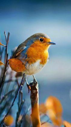 Songbirds - European robin also called English robin.