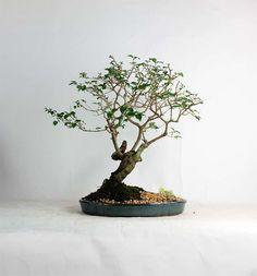 "Ligustrum Chinesis Bonsai Tree "" Summer Exotic Collection by LiveBonsaiTree"" by LiveBonsaiTree on Etsy"