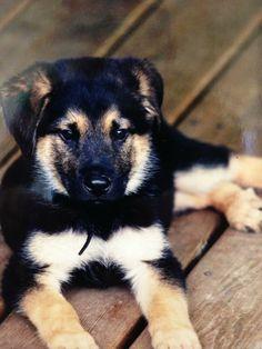 Three month old German Shepherd Mix Shepherd Mix Dog, German Shepherd Mix, All About Animals, Dog Breeds, Husky, Puppies, Dogs, Cute, Cubs