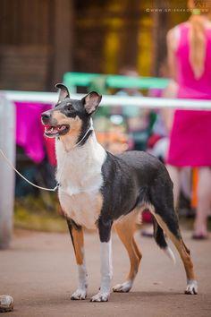 Dog Show - Kate Grishakova Smooth Collie, Rough Collie, Collie Dog, Unusual Dog Breeds, Saarloos, Bearded Collie, Australian Cattle Dog, Dog Boarding, Dog Show