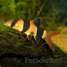 Clown Loach, Loaches for Freshwater Aquariums | PetSolutions