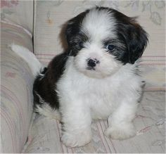 puppies on Pinterest | Shih Tzu Puppy, Shih Tzu and Dog Cat