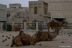QA_170212 Qatar_0106 Dohan Camel Souq Camel, Travelling, Animals, Animales, Animaux, Camels, Animal, Animais, Bactrian Camel