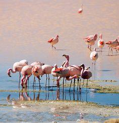 Flamingos on Laguna Colorada, Uyuni, Bolivia.