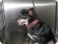 Chatsworth, CA - Chihuahua/Miniature Pinscher Mix. Meet WINSTON, a dog for adoption. http://www.adoptapet.com/pet/11893550-chatsworth-california-chihuahua-mix