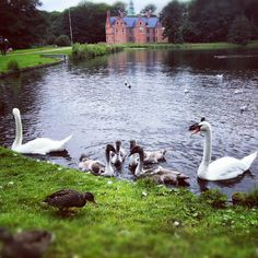damarcand Ugly ducklings in a circle #swan #lake #pond #baby #duckling #water #castle #garden #frederiksborg #denmark #summer #instagood #iphonesia #love #photooftheday #instamood #igers #iphoneonly #instagramhub #jj #picoftheday #instadaily #bestoftheday #igdaily #beautiful #nature #instagramers #follow