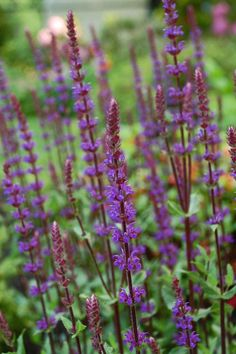 "Salvia ""Caradonna"".  Photo by Naomi Leslie"