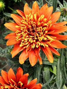 Gazania doble naranja. Viveros Gonzalez. Garden Centre