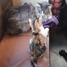 怖々近づく→ぺちんと触る→逃げる、のリピート。「怖い…けど触ってみたい…でも怖い!」子猫なりの好奇心と恐怖心のせめぎあいがスケスケでかわいすぎる。 #ぷーぷー #ロビン #猫 #mainecoon #cataizawaai2016/02/10 17:33:18