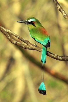 The Turquoise-browed Motmot (Eumomota superciliosa) is a colourful, medium-sized bird of the motmot family, Momotidae. It inhabits Central America from south-east Mexico (mostly the Yucatán Peninsula), to Costa Rica, where it is common & not considered threatened. Males apparently use their tail as a sexual signal, as males with longer tails have greater pairing success & reproductive success.