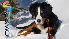 El perro Boyero de Berna