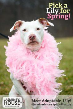 #jasmineshouse #adoptable #pitbull Lily!