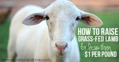How to raise Grass-fed Lamb like a boss. - I never EVER thought, in the history of the world, that I would become a PRO at raising grass-fed lamb. But alas, here I am. Like I've said