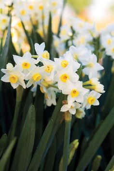 9 Bulbs to Plant Now for Spring - 'Grand Primo' Daffodils - Daffodil Bulbs, Daffodil Flower, Cactus Flower, Daffodils, Pansies, Exotic Flowers, Tropical Flowers, Purple Flowers, Beautiful Flowers