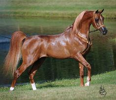 Marwan Al Magnifficoo » Arabian Stallions » Shada Inc