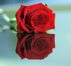 30 Beautiful Rose Pictures | Design Spectre