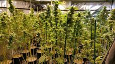 100 Pot Plants, Weed Cookies Found in Marijuana Grow House: Hollywood Police 100 Pot Plants, Weed Cookies Found in Marijuana Grow House: Hollywood Police Lemonade Video, Founded In, South Florida, Potted Plants, Cannabis, Weed, Police, The 100, Herbs