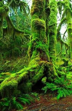 Old mossy tree .