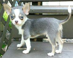 Indigo the Blue, White and Tan Chihuahua Puppy