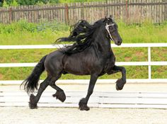 And THIS is one of the many reasons I ADORE the Friesian! Look at that leg action! (Jerke Van Coudenburg - equestrian.ru)