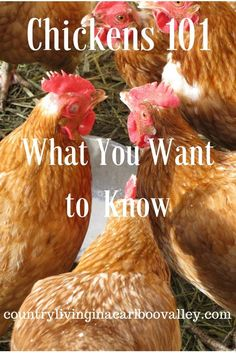 Chickens are hard workers in our barnyard. Every animal we raise here has a job to do while they are with us. If you want to have chickens, here's some of what we've learned having our girls. Think of it as Chicken Farming 101!   Our chickens are always working. They are trying to... Read More