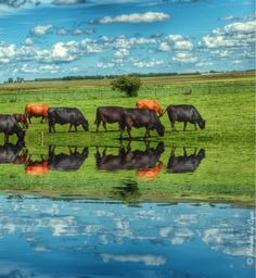 Reflection of cows on Hwy 23 in Minnesota...photo by Cyn...June 15' 2014