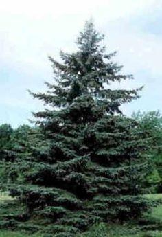 South Dakota State Tree: White Spruce