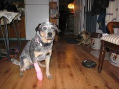 Annie home from the vet, had to remove the better half of her one claw after a accident chasing her arch nemeses THE BALL