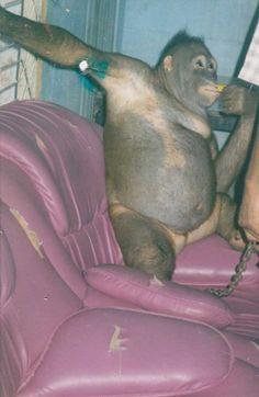 Prostituían A Una Orangután: Pasó Años Siendo Vendida A Los Hombres Y 10 Años En Rehabilitación