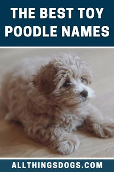 """These dogs are very sociable, lovable and can fit in a variety of different lifestyles. This is all true of the toy Poodle whose number one desire is to please their owner. So if you have a this toy dog at home, check out these Toy Poodle names for inspiration. #toypoodle #toypoodlenames #poodle"