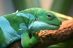Fiji banded iguana (Brachylophus fasciatus). Photo by Crotalinae